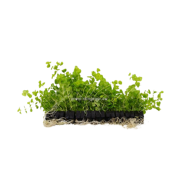 Bubba's Plants Lysimachia aurea (jaune) (Strip)
