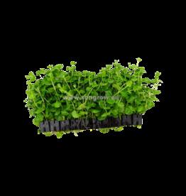 Bubba's Plants Lysimachia nummularia (Strip)