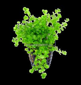 Bubba's Plants Micranthemum umbrosum