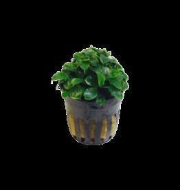 Bubba's Plants Schismatoglottis prietori