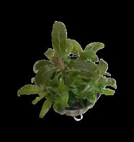 Bubba's Plants Staurogyne Bihar