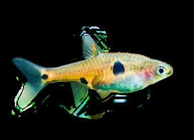 Micro-vissen