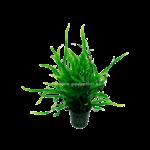 Bubba's Plants Microsorum Trident