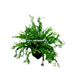Bubba's Plants Microsorum Windeløv (feuilles crispées) Pied mère