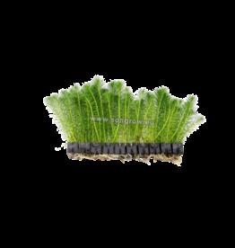 Bubba's Plants Myriophyllum simulans (Strip)