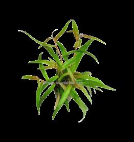 Bubba's Plants Polygonum rouge