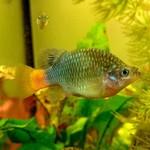 Bubba's Fishs Xenotoca eiseni