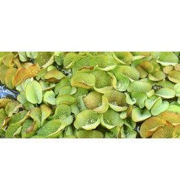 Bubba's Plants Salvinia natans