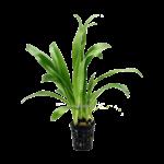 Bubba's Plants Aquatic orchid
