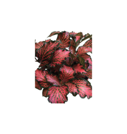 Bubba's Plants Fittonia forrest flame red