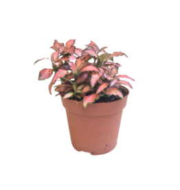 Bubba's Plants Fittonia rose «Pink»