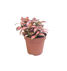 Bubba's Plants Fittonia rose « Pink »