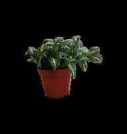 Bubba's Plants Green fittonia