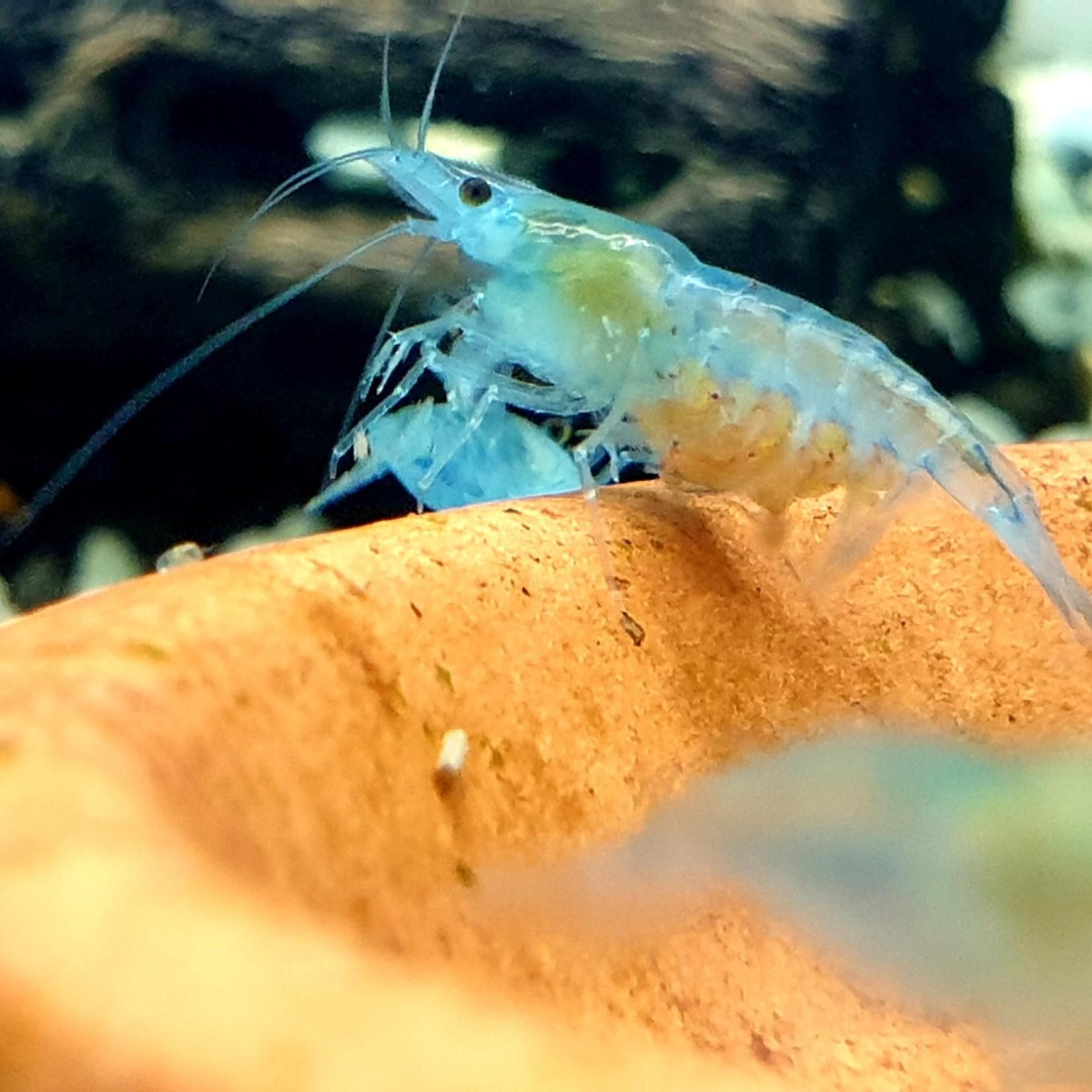 Bubba's Shrimps Shrimp Neocaridina davidi var. Full Blue Rili - jelly