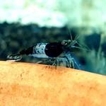 Bubba's Shrimps Rili Carbon
