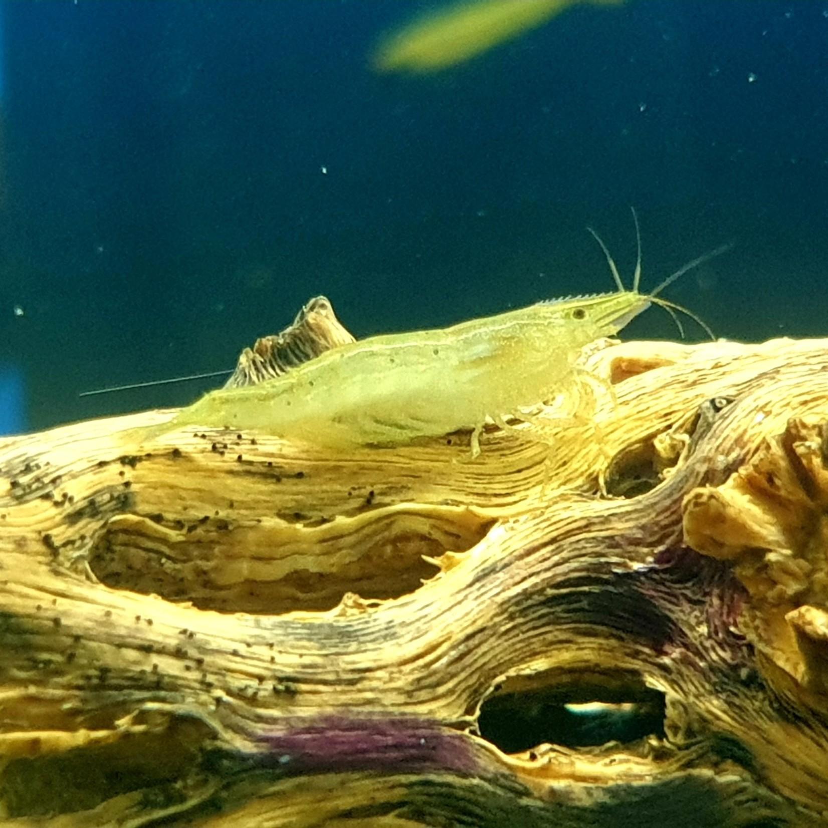 Bubba's Shrimps Caridina babaulti var. Groen