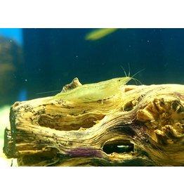 Bubba's Shrimps Babaulti groen