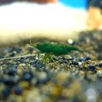 Bubba's Shrimps Groene Jade