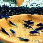 Bubba's Shrimps Blauw fluweel
