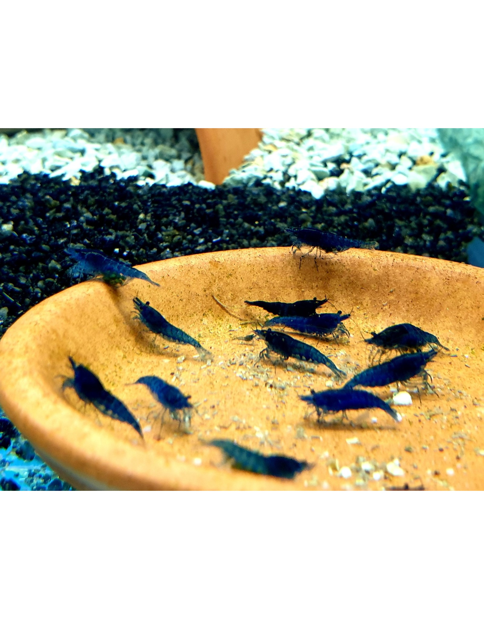 Bubba's Shrimps Blue Velvet