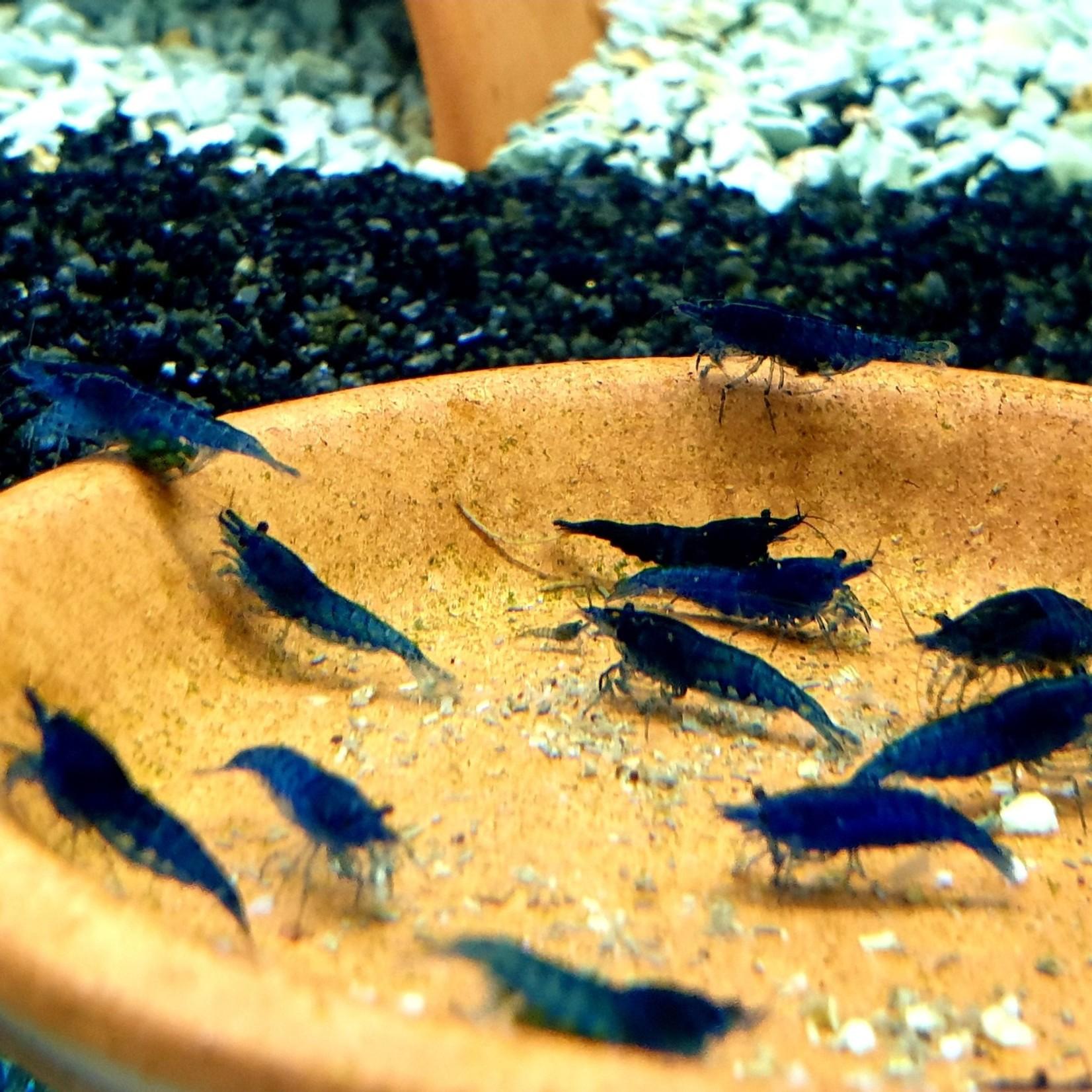 Bubba's Shrimps Neocaridina Blauwe Fluwelen Garnalen