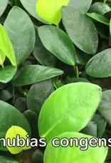 Bubba's Plants Anubias congensis rond