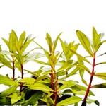 Bubba's Plants Nesaea pedicellata 'Golden'