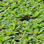 Bubba's Plants Pistia stratiotes