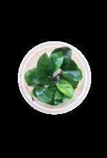 Plantes InVitro Anubias sp. nangi Barteri nana X Gilletii