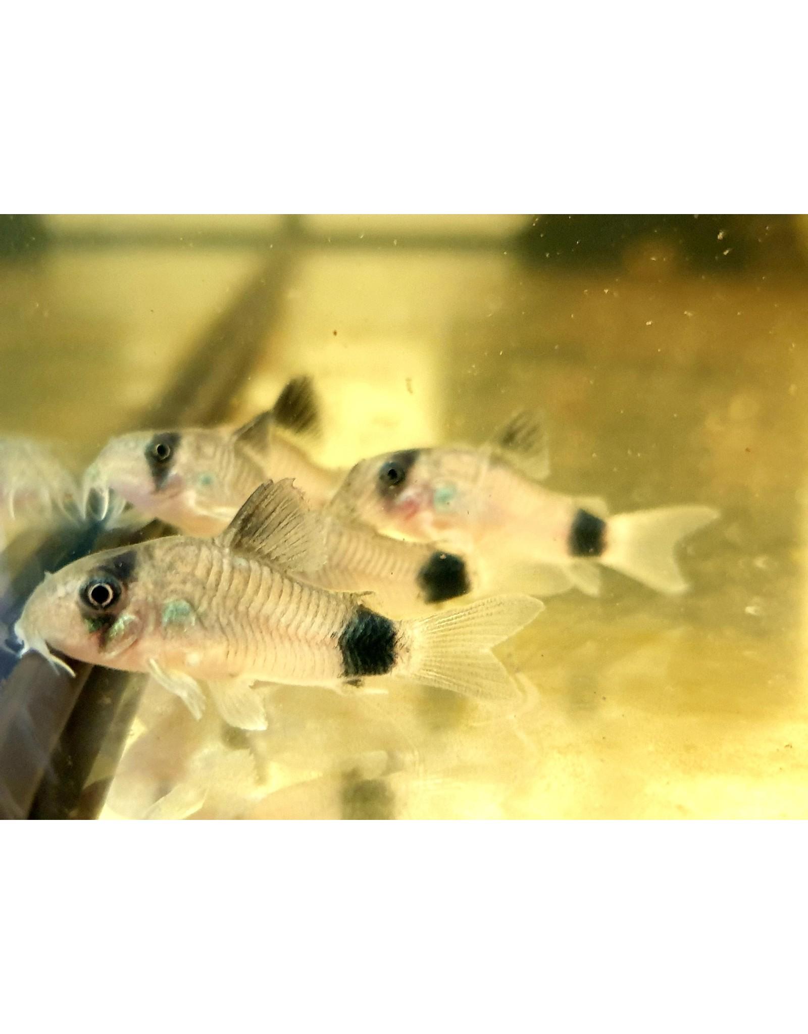 Bubba's Fishs Corydoras Panda