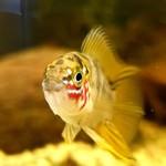 Bubba's Fishs Borelli Opal