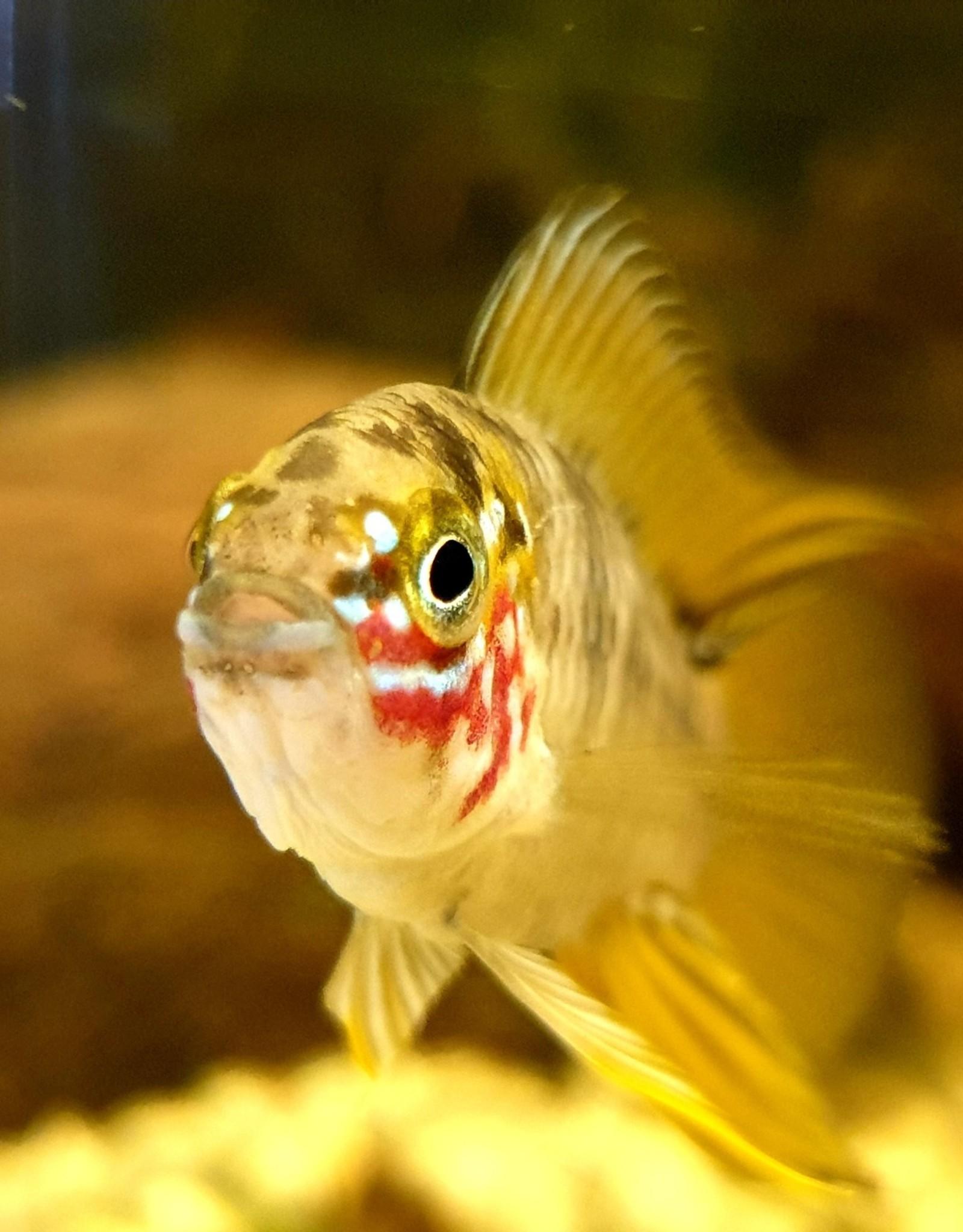 Bubba's Fishs Apistogramma Borelli Opal