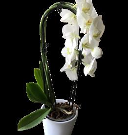 Orchidees Orchidées phalaenopsis cascade