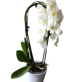Orchidees Orchidées phalaenopsis courbe