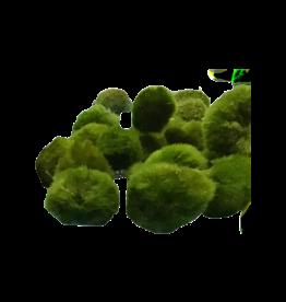 Mousse Cladophora aegagropila