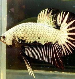 Bubba's Fishs Betta Plakad Dragon Black Samuraï