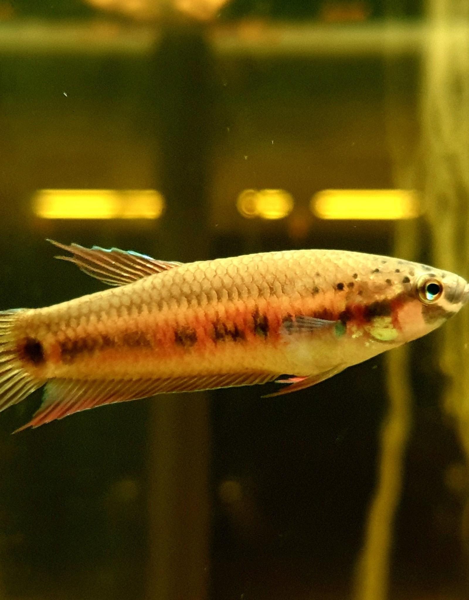 "Bubba's Fishs Betta Dennisyongi ""Banda Aceh"" (Pièce)"