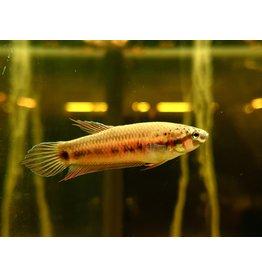 """Bubba's Fishs Betta Dennisyongi """"Banda Aceh"""""""