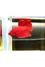 Bubba's Fishs Betta Plakat Rouge