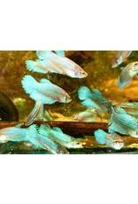 Bubba's Fishs Betta Femelle