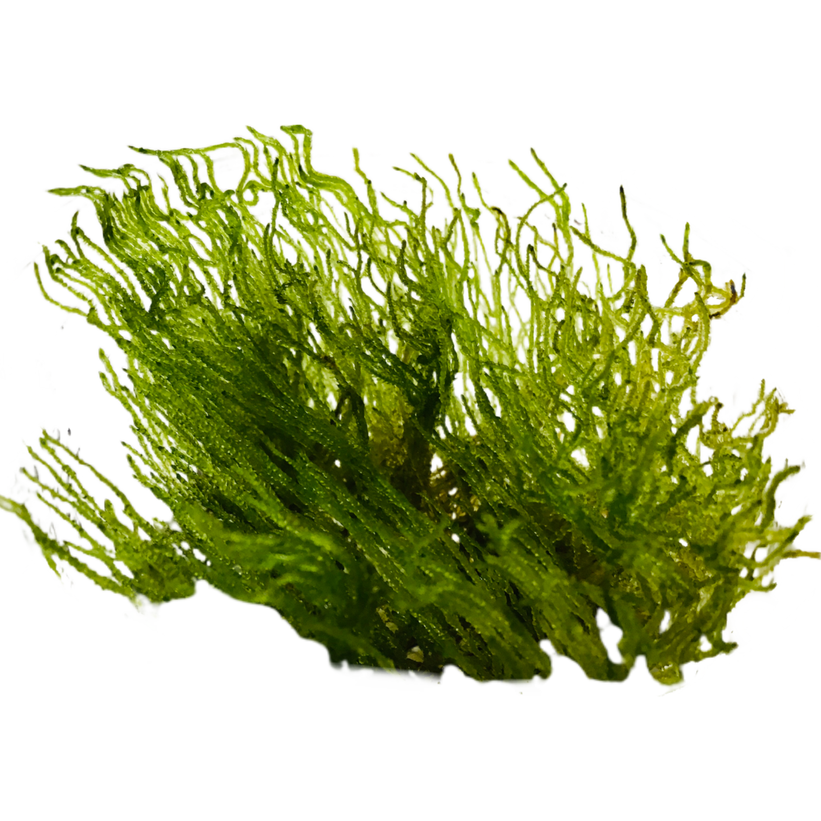 Mousse Vlammos (Taxiphyllum sp.)