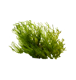 Mousse Flame moss