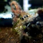 Bubba's Shrimps Paracaridina sp. Vietnam Princess Bee