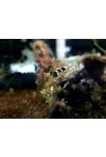 Bubba's Shrimps Caridina haivanensis / Paracaridina sp. Vietnam Princess Bee