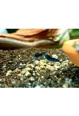 Bubba's Shrimps TBOE - Tiger Blue Orange Eyes