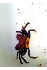 Bubba's Crabs Geosesarma krab - Bicolor Red Carnival