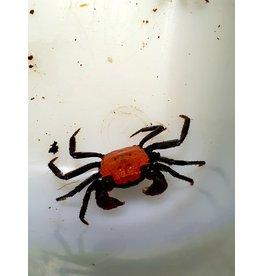 Bubba's Crabs Oranje Zwart oog