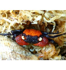 Bubba's Crabs Hagen Fire Red Devil