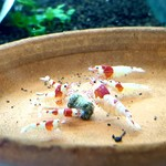 Bubba's Shrimps Crystal Red S-SS