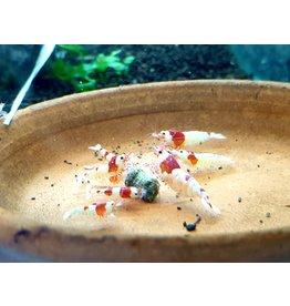 Bubba's Shrimps Kristalrode SSS